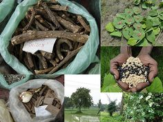 Medicinal Rice Formulations for Diabetes Complications, Heart and Kidney Diseases (TH Group-87) from Pankaj Oudhia's Medicinal Plant Database