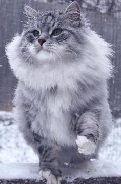 the siberian cat - also known as siberian forest cat. there are claims that it is hypoallergenic and produces less dander than other cat breeds. Cute Kittens, Cats And Kittens, Beautiful Cats, Animals Beautiful, Cool Cats, Siberian Forest Cat, Cat Urine, Super Cute Animals, Norwegian Forest Cat