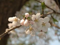 Prunus serrulata. This file is made available under the Creative Commons.