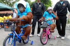 Bam the Orangutan wants you to be safe on your #bike