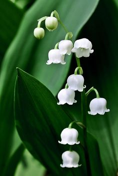 Lily-of-the Valley! My favorite flower! Scrumptiously fragrant, tiny and delicate (unlike me!) and tres cher (very expensive) to buy as a cut flower. Limited season availability. Oh! It is also the Flower for the Month of May!