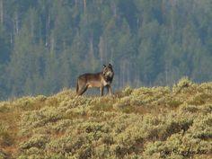Yellowstone wolf near Soda Butte Creek. Yellowstone National Park, National Parks, Yellowstone Wolves, Hunting Tattoos, Lone Wolf, Predator, Panther, Deer