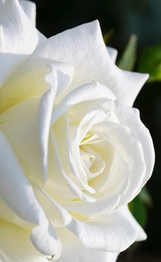 If you are thinking of rose gardening don't let this rumor stop you. While rose gardening can prove to be challenging, once you get the hang of it, it really isn't that bad. Love Rose, My Flower, Pretty Flowers, White Flowers, Red Roses, Fleur Orange, White Gardens, Beautiful Roses, Pink Peonies