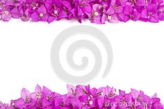 Pink Bougainvillea flower frame isolated on white background.