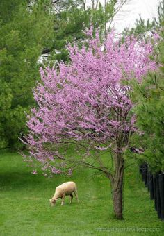 Two of my favorite things: a woolly sheep and a flowering tree