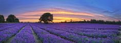 Mayfield lavender banstead. (explored) | Flickr - Photo Sharing!