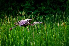 Great Blue Heron coming in for a landing at Mackenzie Marsh, Aurora, Ontario - Spring 2014.