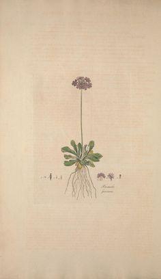 Flora Londinensis, William Curtis botanical plate
