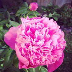 Peony Lady Anna in full bloom @ Hanko, Finland.