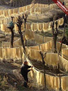 Making Sweet Potato Noodles, Hubei, China Copyright: HPA CFPA (cfpa)