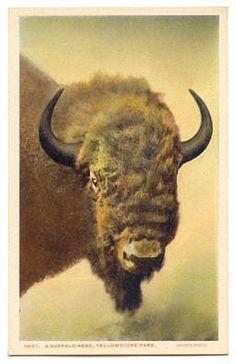 Vintage Photographs of Buffalo/Bison