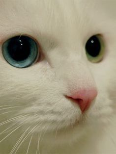 odd eyes, but not so odd for white turkish angora cats. a close up of the beautiful eyes of a turkish angora. Turkish Van Cats, Turkish Angora Cat, Angora Cats, Pretty Cats, Beautiful Cats, Animals Beautiful, Cute Animals, Pretty Kitty, Cute Kittens