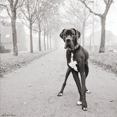 Great Dane. One of my favorite breeds!