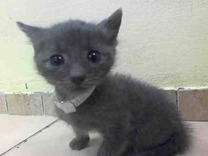NYACC*URGENT*ADORABLE BABY* TO BE DESTROYED 7/29/14 Brooklyn Center  My name is GEORGIE. My Animal ID # is A1007827. I am a male gray domestic sh. The shelter thinks I am about 5 WEEKS old.  I came in the shelter as a STRAY on 07/23/2014 from NY 11233, owner surrender reason stated was ABANDON. I came in with Group/Litter#K14-187127.  https://m.facebook.com/photo.php?fbid=838257419519425&id=155925874419253&set=a.576546742357162.1073741827.155925874419253&source=43
