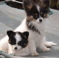 The Papillon is a very intelligent and self-assured dog which has an extremely effortless time finding out new tricks.The Papillon can also be friendly towards other dogs and animals, provided that it has been socialized from an early age.
