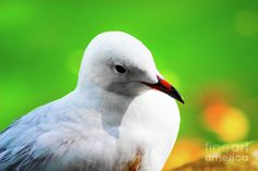 Solitude 2 Photograph by Naomi Burgess #seagull #animals #photography
