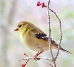 """gold finch""""Afternoon Light"""" by jamesfburns, via Flickr"""