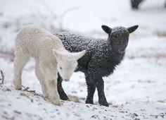 Kristin Nicholas' lambs
