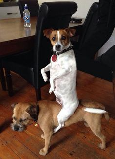 When this dog acted like this other dog wouldn't mind taking him for a ride. | The 61 Most Awkward Moments In The History Of Dogs