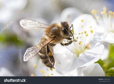 Image result for cherry blossom bee