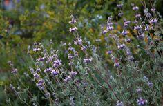 Salvia clevelandii 'Pozo Blue'