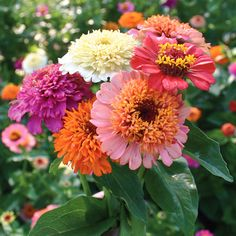 ZINNIA Scabiosa Flowered Mix