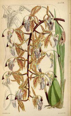 984 Polycycnis barbata (Lindl.) Rchb.f. [as Cycnoches barbatum Lindl.] / Curtis's Botanical Magazine, vol. 75 [ser. 3, vol. 5]: t. 4479 (1849) [W.H. Fitch]