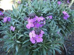 ERYSIMUM 'Bowles Mauve' | Evergreen Nursery