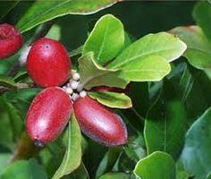 Echando más que Raices: Synsepalum dulcificum o fruta milagrosa