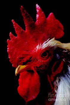 Rooster Portrait by Lj Lambert