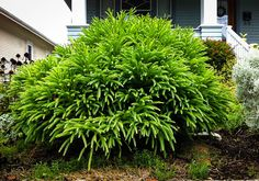 Buy Cryptomeria Spiralis Japonica for Sale