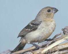 White-collared Seedeater - This tiny finch is abundant in Mexico & Central America, but it has had a checkered history in our area. In extreme southern Texas, the seedeater was common as recently as the 1940s, but by the mid-1970s it had all but vanished north of the border. In recent years it has reappeared in small numbers in the Falcon Dam area. Flocks of White-collared Seedeaters feed low in rank weedy places, calling to each other in soft voices.