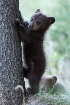"Black Bear Cub:  ""Follow me Bro!  It'll be easy climbing this tree!"""