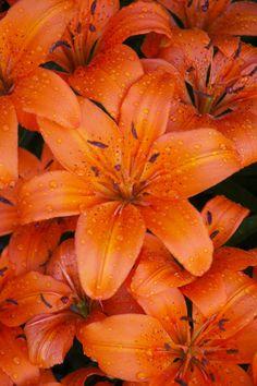tiger lillies via http://www.heidigarrett.com