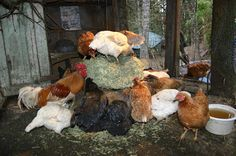 Alfalfa, to Nourish and Entertain your Chickens - great Blog post on the benefits of feeding Alfalfa to chickens along with suggestions for feeding it to them.