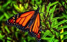 New Zealand native butterflies - Google Search