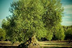La almazara Baeturia Organic, sita en Medina de las Torres (Badajoz), Spain.
