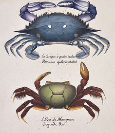Christophe-Paulin de la Poix  The Swimming Crab and the Fiddler Crab  1822-39