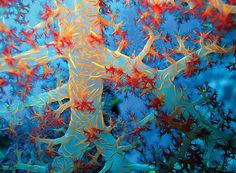 Soft Coral, Sharm El Sheikh, Egypt