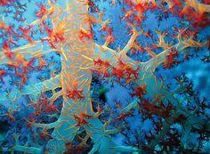 Soft Coral, Sharm El Sheikh, Egypt