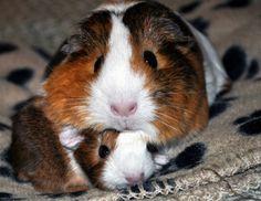 guinea pigs    squishy