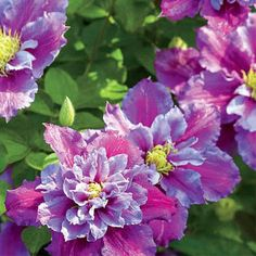 60 best fence climbing flowers images on pinterest in 2018 flowers clematis google search mightylinksfo