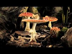 [][][] Amanita muscaria - 'Fly Agaric' toadstool growing time-lapse. Phylum--> Basidiomycota; Class--> Agaricomycetes; Order--> Agaricales; Family--> Amanitaceae; Genus--> Amanita