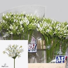 Brodea White Secret are White cut flower. It is approx. - pretty delicate white flowers with clusters of small flowers on leafless stems. Perfect to enhance wedding bouquets and posies Small Flowers, Fresh Flowers, White Flowers, Wedding Bouquets, Wedding Flowers, August Flowers, Florist Supplies, Astilbe, Stems