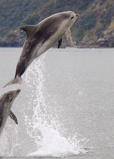 While sailing around the Bay of Islands, NZ a few pods of dolphins decided to join us. The mothers were encouraging their babies to jump out of the water to build muscle for swimming.