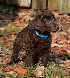 Poodle Dogs Love this puppy! Diana my chocolate standard poodle puppy - Cute Puppies, Cute Dogs, Poodle Puppies, Toy Poodle Apricot, Chocolate Poodle, Red Poodles, Dog Care, I Love Dogs, Dog Breeds