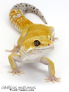 Leopard Gecko 2 by ~Geekusmaximus on deviantART