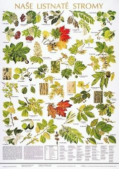 Leaf Identification, Artist Problems, Forest Plants, Animal Tracks, Forest School, Outdoor Survival, Science And Nature, Trees To Plant, Beautiful Creatures