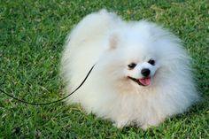 pomeranian | White Pomeranian. Male, age of 2 years old.