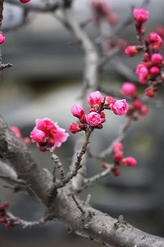 Ume, Japanese apricot | Shitennoji Temple, Osaka Prefecture, Japan